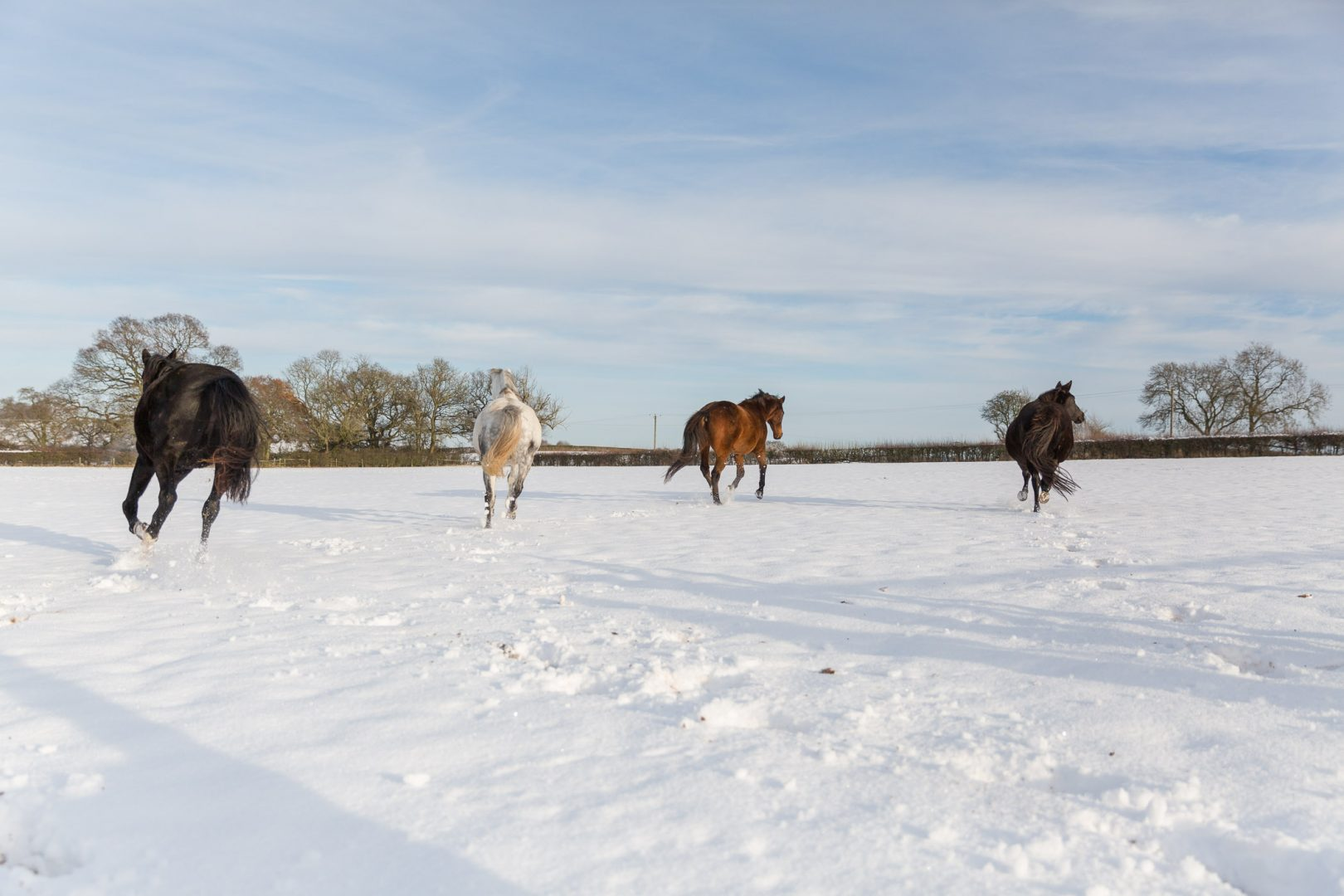 Horses galloping in snow